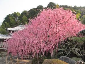 水仙の次は梅の季節。