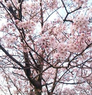 【本店】この季節限定!桜を見ながらあわじ島バーガー