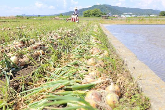 淡路島たまねぎの収穫