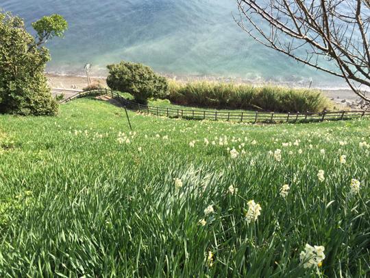 灘黒岩水仙郷の水仙の開花状況