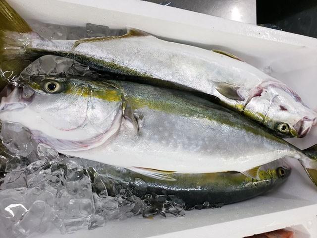 \天然魚は旨い!!/天然ブリの5キロサイズ入荷